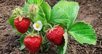 Причины плохого урожая клубники и способы их устранения