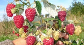 Обрезка малины по Соболеву - методика повышения урожайности