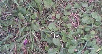 Что это за растение и как удалить его с газона. фото