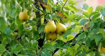 Технология посадки груши: выбираем саженцы, удобрения, и место