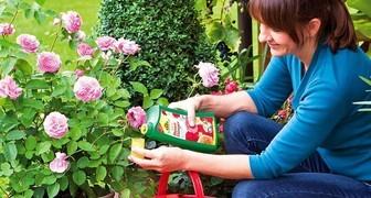 Чем подкормить розы для пышного и продолжительного цветения