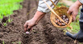 Покров Пресвятой Богородицы - приступаем к посеву озимого чеснока