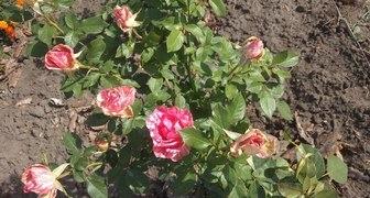 Чем лучше полечить розу фото