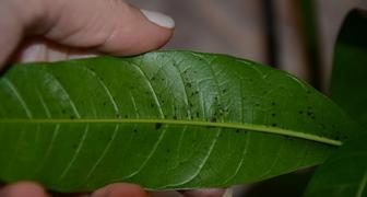 Манго, черные пятна и мука на листьях фото