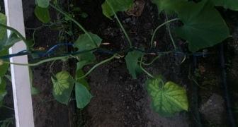 Здравствуйте что вы можете сказать про эти листья огурцов фото