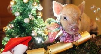 Новый год Желтой Свиньи: как украсить дом и елку, чтобы привлечь удачу