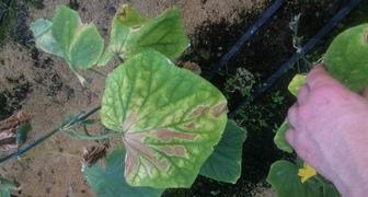 Здраствуйте чем больны листья огурцов фото