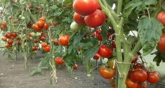 Выращивание томатов семенным и рассадным методом в открытом грунте
