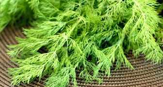 Выращиваем пышный и сочный укроп без зонтиков