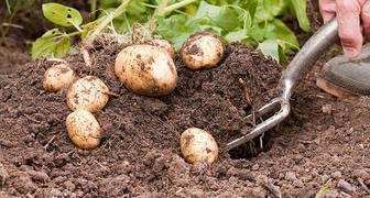 Выращиваем картофель по методу П.Р. Балабанова и собираем невероятный урожай