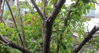 Обрезать сухие ветки сливы или подождать до осени? фото