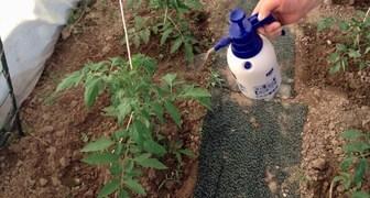 Молоко, йод и борная кислота - защита и подкормка для растений