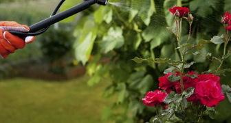 Омолаживаем розы содовым раствором