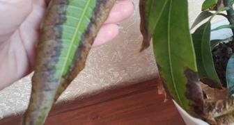 Почему ржавеют листья на манго? фото