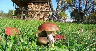 Выращиваем лесные грибы на дачном участке