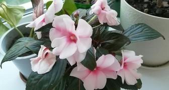 Не цветет бальзамин - срочно меняйте условия содержания и уход