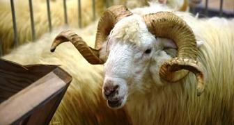 Редкий домашний скот покажут на National exhibition of animals