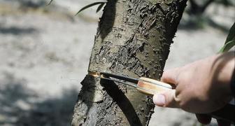 Плодовые деревья не дают урожая - 5 способов заставить их плодоносить