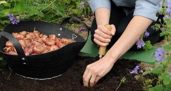 Добейтесь пышного цветения гладиолусов - 5 секретов выращивания