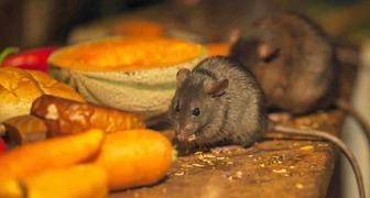 Мыши на даче исчезнут навсегда, если посадить эти растения вокруг дома