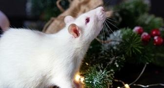 Встречаем Китайский Новый год Крысы, готовимся к глобальным изменениям