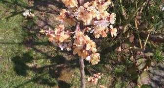 Цветки абрикоса пожелтели и завяли фото
