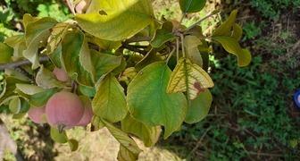 Почему яблони желтеют? фото