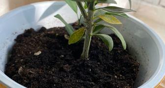 Белые пятна на стебле лимона фото