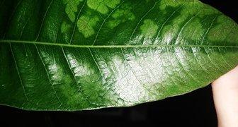 Листья манго в пятнах больших фото