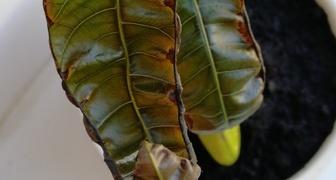 Скрутились и подсохли листья манго фото