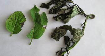 Весной чернеют и усыхают листья гортензии фото